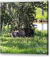 Resting In The Clover Acrylic Print