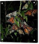 Resting Monarchs Acrylic Print