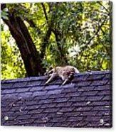 Resting Raccoon Acrylic Print by Yelena Rubin