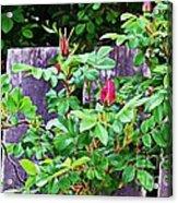 Resting Rosebuds Enhanced Acrylic Print