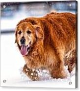 Retriever Running In Snow Acrylic Print by Matt Dobson