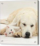 Retriever With Friendly Kittens Acrylic Print
