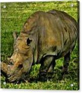 Rhinoceros 101 Acrylic Print
