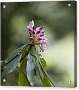 Rhododendren  Acrylic Print