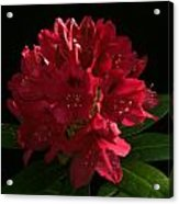 Rhododendron At Sunset 1 Acrylic Print