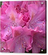 Rhododendron Bloom Acrylic Print