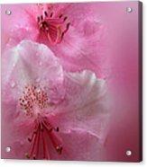 Rhododendron Dreams Acrylic Print