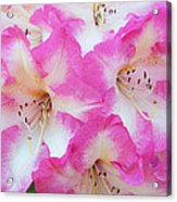 Rhododendron- Hot Pink Acrylic Print