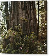 Rhododendrons Bloom Around The Trunk Acrylic Print