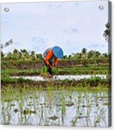 Rice Field  Acrylic Print