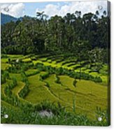 Rice Fields In Agricultural Bali Acrylic Print