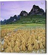 Rice, Yangshuo, Guangxi, China Acrylic Print
