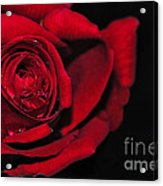 Rich Red Rose Acrylic Print
