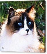 Rikki Blue Eyes Acrylic Print