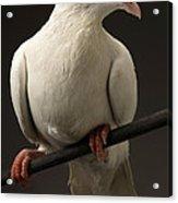 Ring-necked Dove Acrylic Print