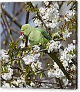 Ring-necked Parakeet Acrylic Print