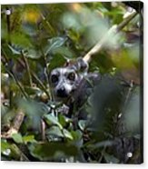 Ring-tailed Lemur In A Tree Acrylic Print
