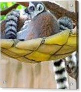 Ring-tailed Lemur Acrylic Print