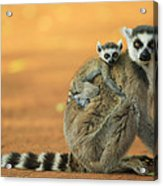 Ring-tailed Lemur Mother And Baby Acrylic Print