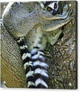 Ring-tailed Lemurs Madagascar Acrylic Print