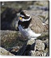 Ringed Plover Acrylic Print