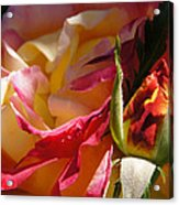 Rio Samba Rose And Bud Acrylic Print