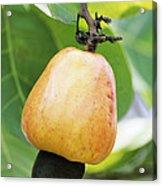 Ripe Cashew Nut Acrylic Print