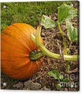 Ripe Pumpkin Acrylic Print