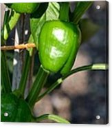 Ripened Peppers Acrylic Print