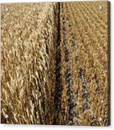Ripened Wheat And Stubble In Saskatchewan Field Acrylic Print