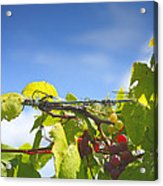 Ripening On The Vines Acrylic Print by Steven Ainsworth