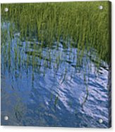 Rippling Water Among Aquatic Grasses Acrylic Print