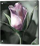 Rita Rose Acrylic Print