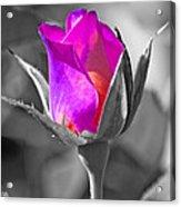 Rita Rosebud II Acrylic Print
