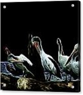 River Murray Pelicans Acrylic Print