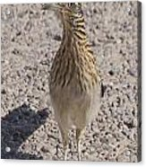 Road Runner A Acrylic Print