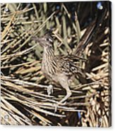 Road Runners Roost Acrylic Print