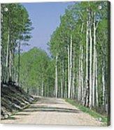 Road Through An Aspen Forest, Manti La Acrylic Print