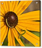 Roadside Daisy And Inch Worms Acrylic Print