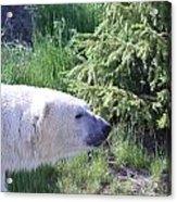 Roaming Polar Bear Acrylic Print