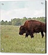 Roaming The Plains Acrylic Print