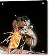 Robber Fly Feeding On A Cockroach Acrylic Print by Dr Morley Read