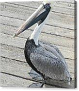 Robbie's Pelican Acrylic Print