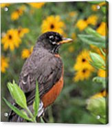 Robin Among Flowers Acrylic Print