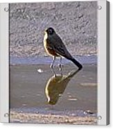 Robin Reflection Acrylic Print