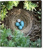 Robins Nest And Cowbird Egg Acrylic Print