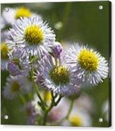 Robin's Plantain - Alabama Wildflowers Acrylic Print