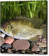 Rock Bass Acrylic Print