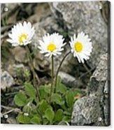 Rock-plant Daisy (bellis Margaraetifolia) Acrylic Print