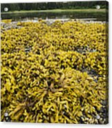 Rock Weed Fucus Gardneri At Low Tide Acrylic Print